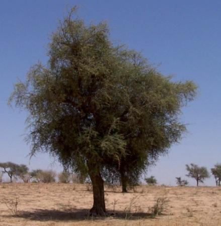 Dátil del desierto