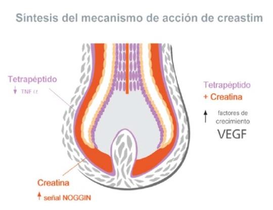 mecanismo de acción de Creastim