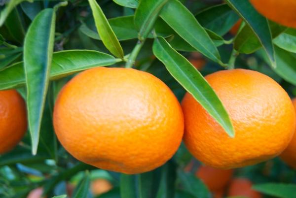 arbol mandarinas