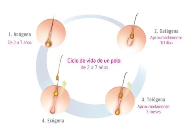 ciclo vida cabello